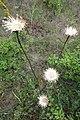 Doroncium, familija Asteraceae 05.jpg