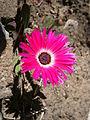 Dorotheanthus bellidiformis 002.JPG