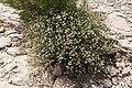 Dorycnium pentaphyllum-Badasse-20160423.jpg