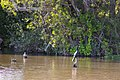 Double-crested cormorant (25752477334).jpg
