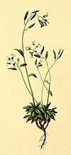 Draba siliquosa Atlas Alpenflora