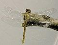 Dragonfly, Metamorphosis 5 (181300175).jpg