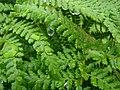 Dripping ferns - geograph.org.uk - 995725.jpg