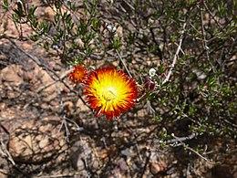Drosanthemum bicolor P1020667 Kopie