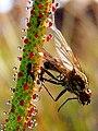 Drosophyllum lusitanicum concurso reserva biosfera.jpg