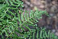 Dryopteris filix-mas Cristata in Jardin botanique de la Charme 01.jpg