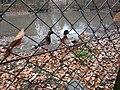 Ducks in japan.jpg