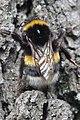Duisburg 08.05.2017 Buff-tailed Bumblebee - Bombus terrestris (34657319472).jpg