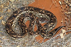 Dumeril's Madagascar ground boa (Acrantophis dumerili) male Reniala.jpg