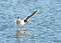 Dvärgmås Little Gull (31125546774).jpg