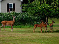 EASTERN WHITETAIL DEER - DOE AND THREE FAWNS AT BACKYARD APPLE TREE.jpg