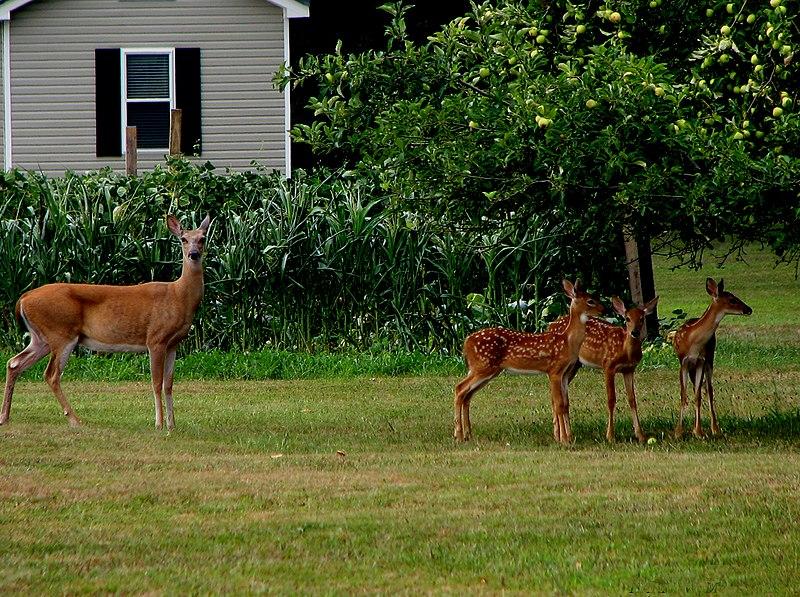 doe and three fawns at backyard apple wikimedia commons