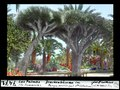 ETH-BIB-Las Palmas, Gran Canaria, Drachenbäume im Parque municipal Sta Catalina-Dia 247-07471.tif