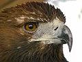 Eagle عقاب 07.jpg