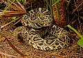 Eastern Diamondback Rattlesnake (Crotalus adamanteus) (25055449725).jpg