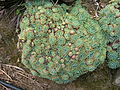 Echeveria Crassulaceae.jpg