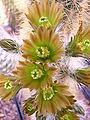 Echinocereus chloranthus var. neocapillus1MABJ.jpg