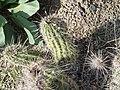Echinocereus fasciculatus (2).jpg