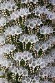 Echium simplex k4.jpg