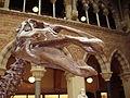 Edmontosaurus skull.JPG