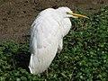 Egret (3735847701).jpg