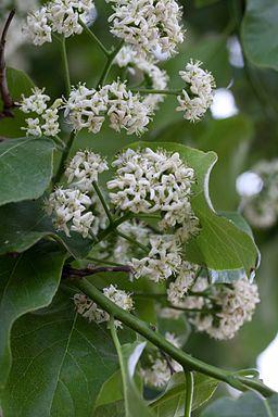 Ehretia dicksonii floraison