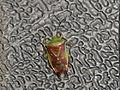 Elasmostethus interstinctus (15239685150).jpg