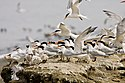 Elegant tern flock with chicks (Sterna elegans) (6796580971).jpg