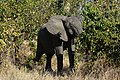 Elephant, Ruaha National Park (18) (28109610324).jpg