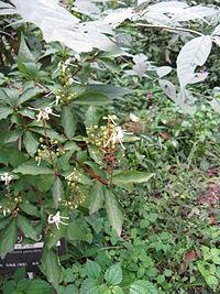 Elliottia paniculata2