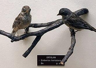 Ortolan bunting - Ortolan bunting Bird-mount preparation