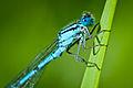 Enallagma cyathigerum, common blue damselfly.jpg