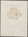 Ephippus faber - 1700-1880 - Print - Iconographia Zoologica - Special Collections University of Amsterdam - UBA01 IZ13100279.tif