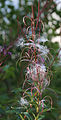 Epilobium angustifolium Fireweed seed stage tall.jpg