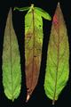 Epilobium ciliatum ssp ciliatum leaves upper.png