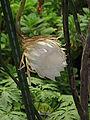 Epiphyllum oxypetalum4.jpg