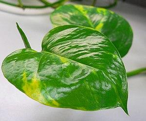 Epipremnum aureum 'Variegata'