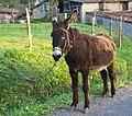 Equus asinus - Burro - Donkey - 03.jpg