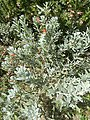 Eremophila grlabra orange habit.jpg