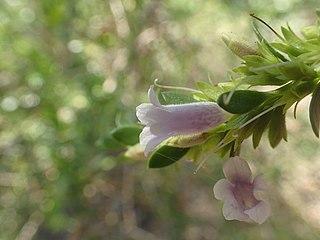 <i>Eremophila lactea</i> species of plant