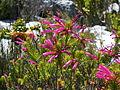 Erica abietina L. subsp. atrorosea Silvermine Dec 13 (4).JPG