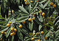 Eriobotrya japonica - Yenidünya.JPG