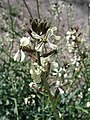 Eruca vesicaria. Big Bend National Park, Hwy 1776. March 2004 (14F25298DB6D412790DF898725DB24BD).JPG