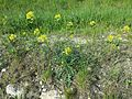 Erucastrum nasturtiifolium sl3.jpg