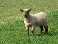 Escaped lamb at Warham - geograph.org.uk - 454378.jpg