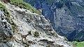 Etagnes et leurs petits au col des Saulces (2371 m) (2).jpg