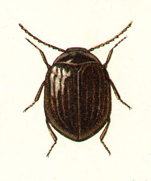 Eubria palustris