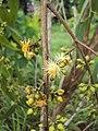 Eucalyptus camaldulensis 01.JPG