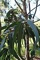 Eucalyptus cypellocarpa kz02.jpg