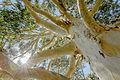 Eucalyptus dalrymplean bark 7129.jpg